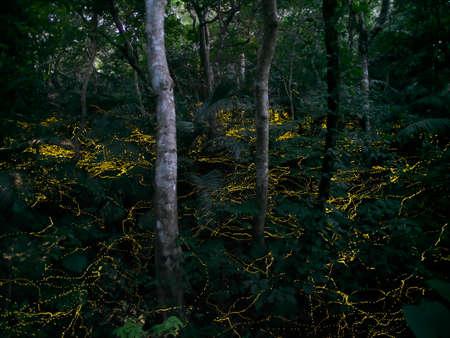 Okinawa,Japan - May 22, 2021: Glow of Yaeyama Hime fireflies at Ishigaki island, Okinawa, Japan.