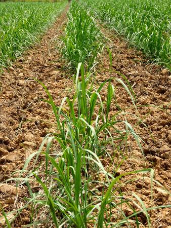 Okinawa,Japan - May 22, 2021: Sugar cane fields in Ishigaki island, Okinawa Фото со стока
