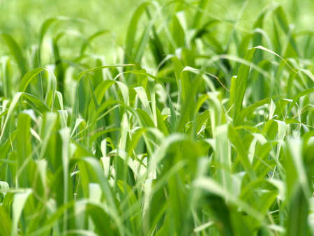 Okinawa,Japan - May 21, 2021: Sugar cane fields in Ishigaki island, Okinawa Фото со стока