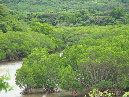 Okinawa,Japan - May 22, 2021: Mangrove field along Fukito river in Ishigaki island, Okinawa, Japan