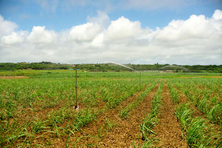 Okinawa,Japan - May 21, 2021: Water sprinkler in Sugar cane fields in Ishigaki island, Okinawa