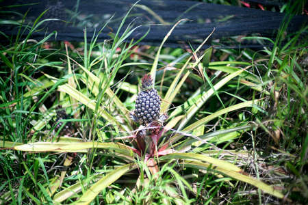 Okinawa,Japan-May 21, 2021: A pineapple in an agricultural farm in Ishigaki island, Okinawa, Japan