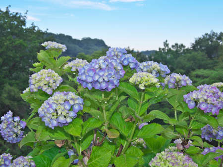 Tokyo,Japan-May 28, 2021: Hydrangea flower in full bloom after the rain in the morning