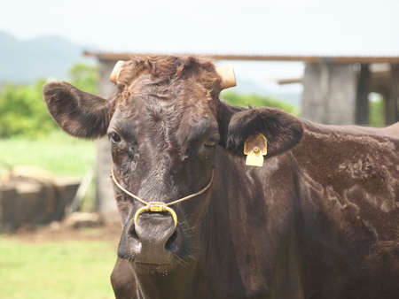 Okinawa,Japan - May 22, 2021: Cattle in Ishigaki island, Okinawa, Japan