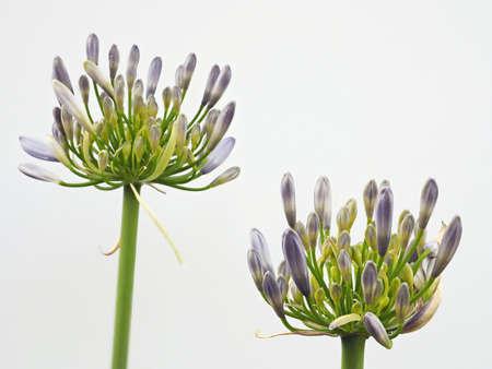 Tokyo,Japan-June 10, 2021: Closeup of Agapanthus flowers on white background Banco de Imagens