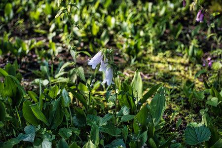 Tokyo,Japan-June 11, 2021: white spotted bellflowers in a garden