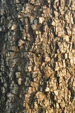 Bark tree texture Stock Photo - 13201598