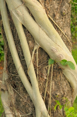 Parasite plants root