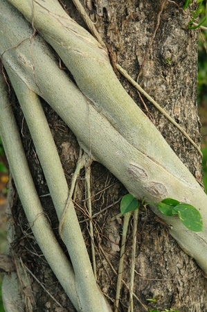 encroaching: Closed up parasite roots on tree bark