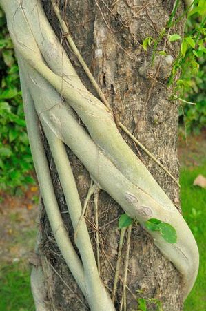 encroaching: parasite plant on tree bark