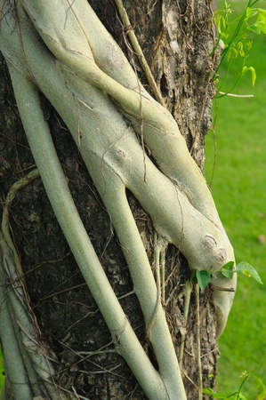 encroaching: Parasite roots on tree bark