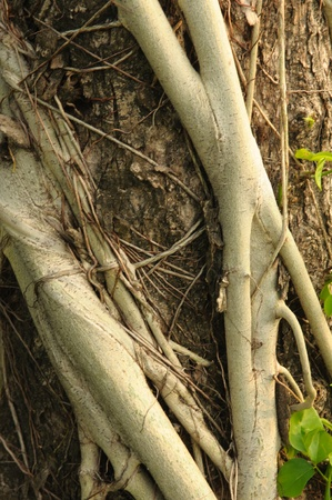 encroaching: Parasite roots on old tree bark Stock Photo