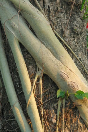 Parasite roots on plants tree Stock Photo