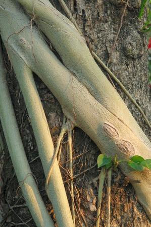 pervasive: Parasite roots on plants tree Stock Photo