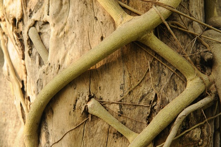 Parasite roots on tree bark