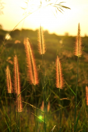 Grass flower on sunset on background photo