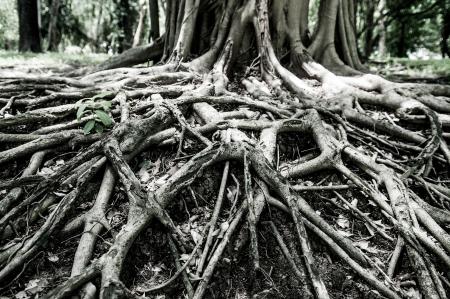 tree roots: Cerrado encima de grandes raíces de los árboles