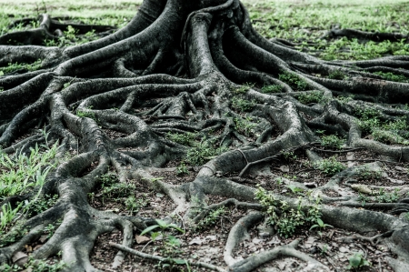 Big Baumwurzeln zeigen Natur-Konzept