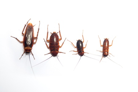 Four age of cockroach on white background