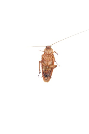 detestable: Cockroach on white background