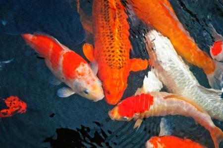 Koi or carp chinese fish in water photo