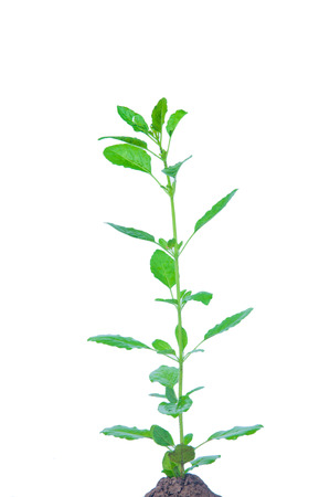 tulasi: Holy basil plant or Ocimum sanctum on white  Stock Photo