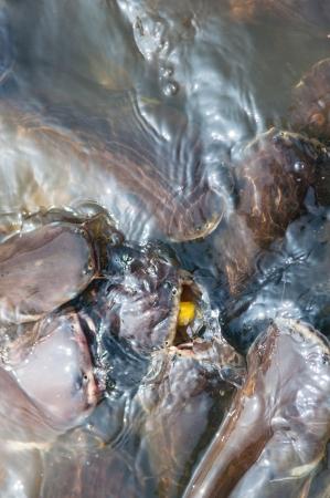 pangasius: Feeding Iridescent shark Fish in river of Thailand