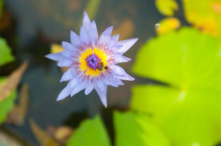 Lila Seerose Blume und Biene Show Natur-Konzept