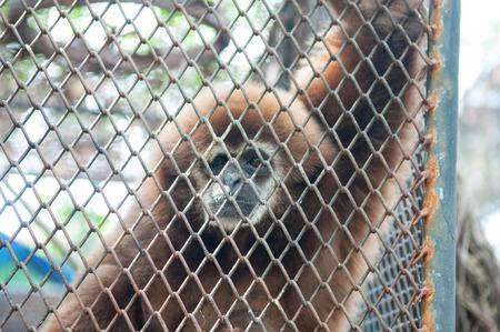 incarcerate: Sad gibbon behind cage