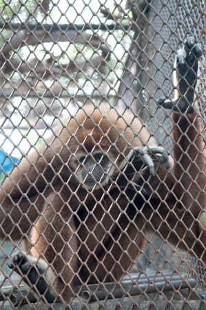 Sad gibbon behind cage  photo