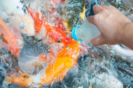 Feeding Koi fish with milk bottle in farm photo