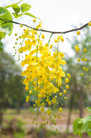 fistula: Cassia fistula or shower flowers show nation flower of Thailand