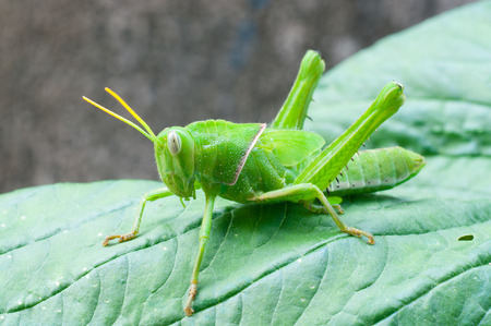 Bright green grasshopper  photo
