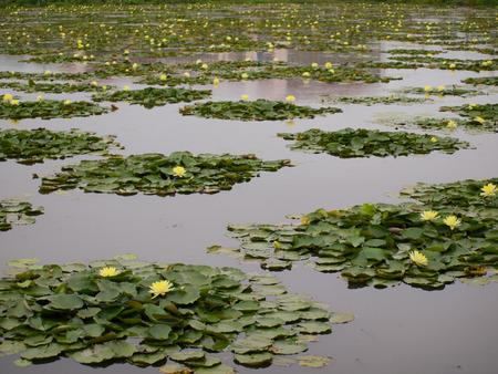 Gelbe Lotus-Blume auf der Wasseroberfl�che