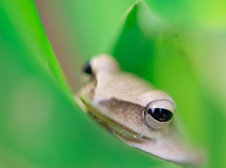 Closed up Golden tree frog on green leaf photo