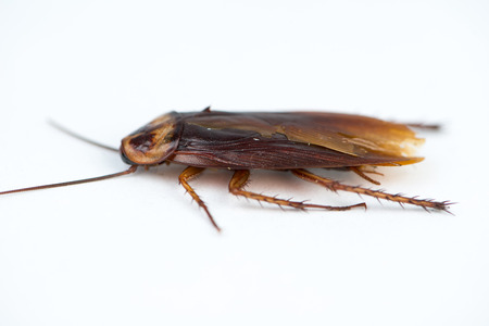 detestable: Dead Cockroach on white background