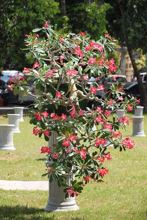 NAKORNPRATOM, THAILAND Februar 21,2015: up big Adenium obesum Baum Geschlossen in Pflanzen Wettbewerb Messe Nakornpratom, Thailand