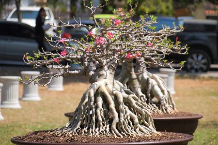 big Adenium obesum Baum