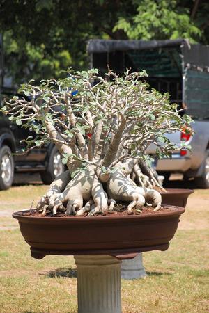 adenium: big Adenium obesum tree