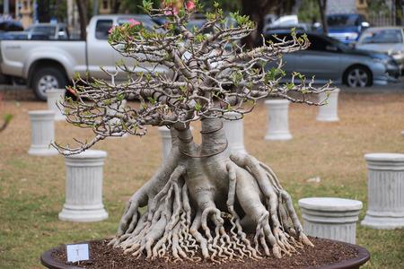 obesum: big Adenium obesum tree