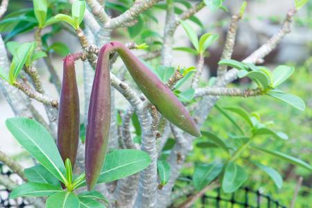 adenium: Adenium seeds