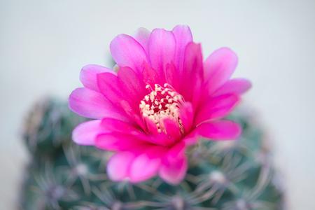 Closed up flower of cactus