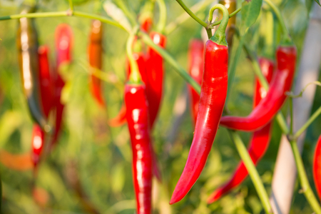 Red chili peppers on the tree in garden Stock Photo