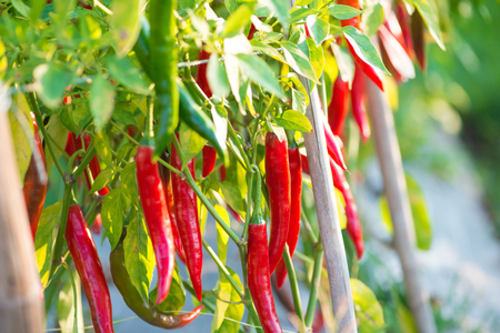 Red chili peppers on the tree in garden Imagens