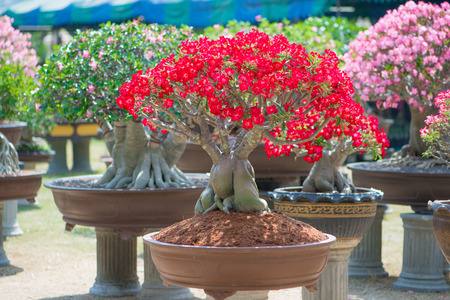 Red flower Adenium tree or desert rose in flower pot Stock Photo