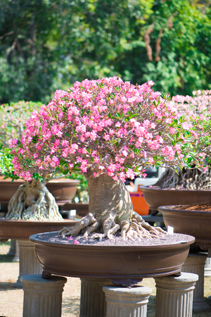 Bonsai style of Adenium tree or desert rose in flower pot Stock Photo