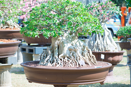 Adenium tree or desert rose in flower pot
