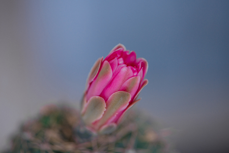 Closed up pink cactus flower