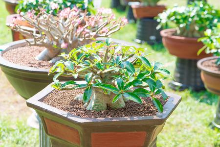 Adenium tree or desert rose in flower pot