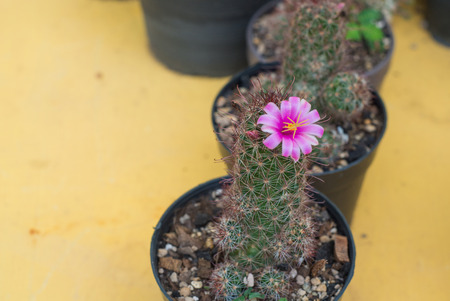 folwer: Closed up pink cactus folwer